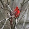 Northern Cardinal @ Grand Glaize Creek