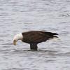 Bald Eagle @ Riverlands MBS
