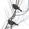 Rusty Blackbirds @ Blue Grosbeak Trail