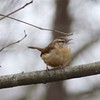 Carolina Wren @ Forest 44 CA