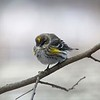 "Yellow-rumped ""Myrtle"" Warbler @ Grand Glaize Creek"