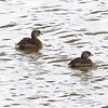 Pied-billed Grebes @ Riverlands MBS