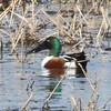 Northern Shoveler (Male) @ Columbia Bottom CA