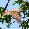 Great Crested Flycatcher (In Flight) @ Portage des Sioux NA