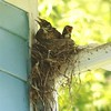 American Robins (Juvenile in Nest @ Portage des Sioux NA