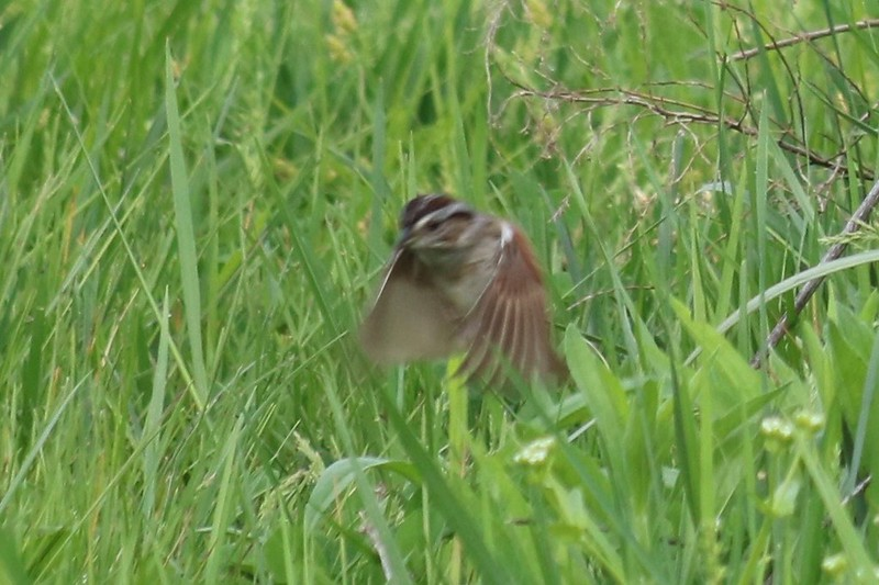 Swamp Sparrow @ Silver Creek Preserve