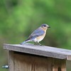 Eastern Bluebird @ Rockwoods Reservation
