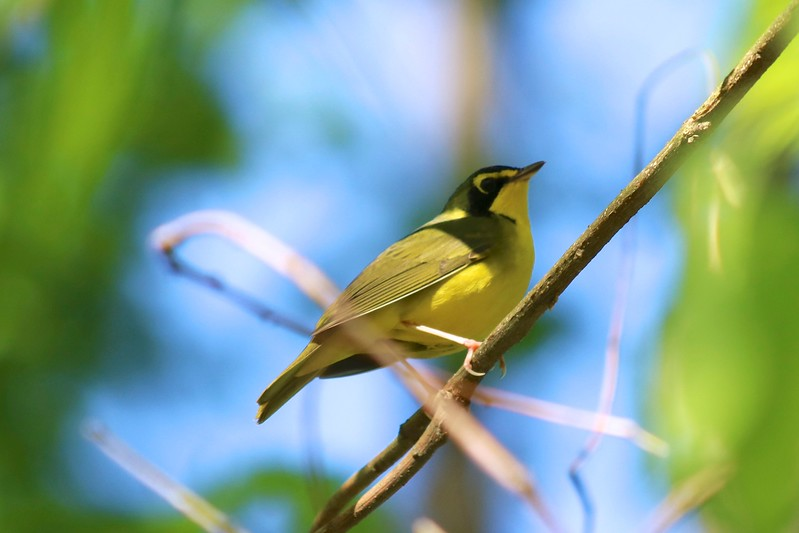 Kentucky Warbler @ Rockwoods Reservation
