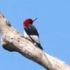 Red-headed Woodpecker @ Dalbow Road