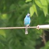 Indigo Bunting (Male) @ Faust CP