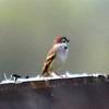 Eurasian Tree Sparrow @ Clarence Cannon NWR