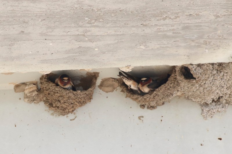 Cliff Swallows in Nests @ Riverlands MBS