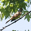 Great Crested Flycatcher @ Portage des Sioux NA