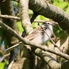 Chipping Sparrow @ Castlewood SP
