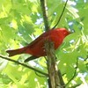 Summer Tanager (Male) @ Castlewood SP