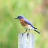 Eastern Bluebird @ Little Creve Coeur Marsh