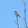 Eastern Kingbird @ BK Leach CA