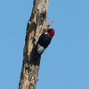 Red-headed Woodpecker @ BK Leach CA