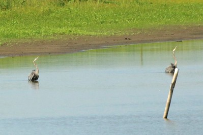Great Blue Herons @ Kaskaskia Island