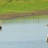 Great Blue Herons @ Kaskaskia Island