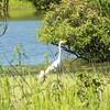 Great Egret @ BK Leach CA