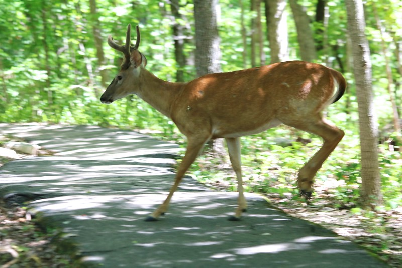 White-tailed Deer @ Powder Valley CNC