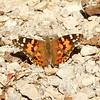 Painted Lady Butterfly (Vanessa cardui) @ Lost Valley Trail