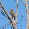 Red-tailed Hawk @ Keeteman Sod Farm
