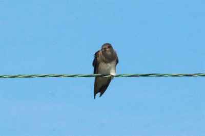 Northern Rough-winged Swallow @ Kaskaskia Island