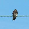Northern Rough-winged Swallow @ Kaskaskia Island