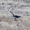 Blue-gray Gnatcatcher @ Simpson Lake CP