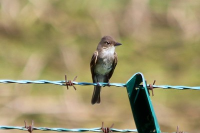 Eastern Phoebe @ Simpson Lake CP