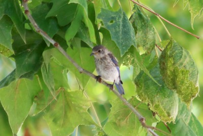 Eastern Bluebird (Juvenile) @ Simpson Lake CP