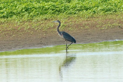 Great Blue Heron @ Kaskaskia Island