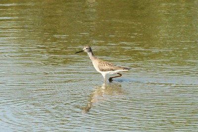 Lesser Yellowlegs @ Kaskaskia Island