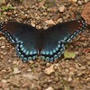Red-spotted Purple Admiral (Limenitis arthemis) @ Lost Valley Trail