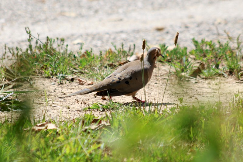 Mourning Dove @ Simpson Lake CP
