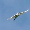 Great Egret @ Kaskaskia Island
