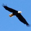 Bald Eagle @ Simpson Lake CP