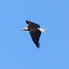 Bald Eagle @ Simpson Lake CP