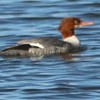 Common Merganser @ Riverlands MBS (Ellis Bay)