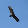 Turkey Vulture @ August Busch CA