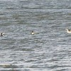 Common Loons @ Carlyle Lake (Dam and Spillway)