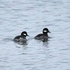 Bufflehead @ Riverlands MBS (Ellis Bay)