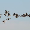 Greater White-fronted Geese @ Riverlands MBS