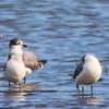 Franklin's Gulls @ Riverlands MBS