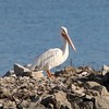 American White Pelican @ Riverlands MBS