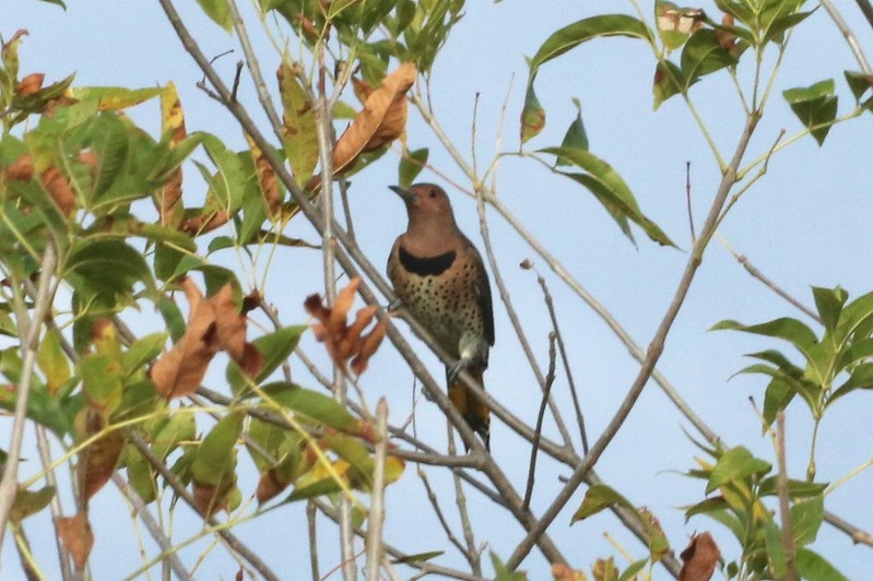 """Yellow-shafted"" Northern Flicker @ Silver Creek Preserve"