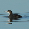 Red-throated Loon @ Riverlands MBS (Lincoln Shields)