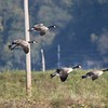 Canada Geese @ Riverlands MBS